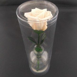 rosa preservada condolencias